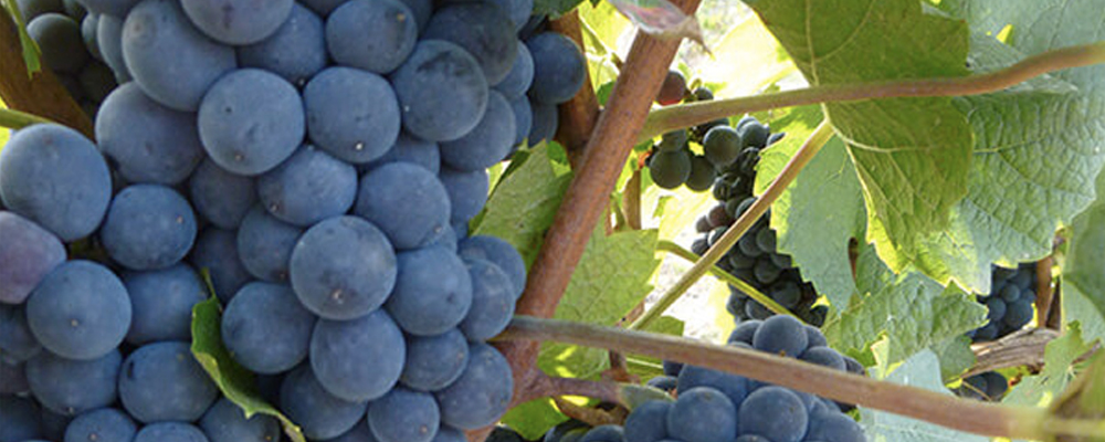 Sipcam 3LOGY - botrite uva cantine